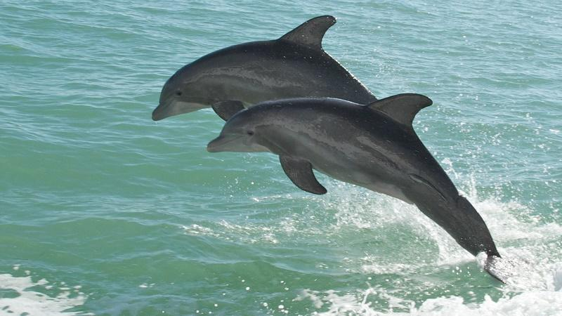 An image of two dolphins leaping from the water