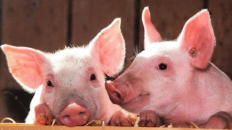 An image of two pigs