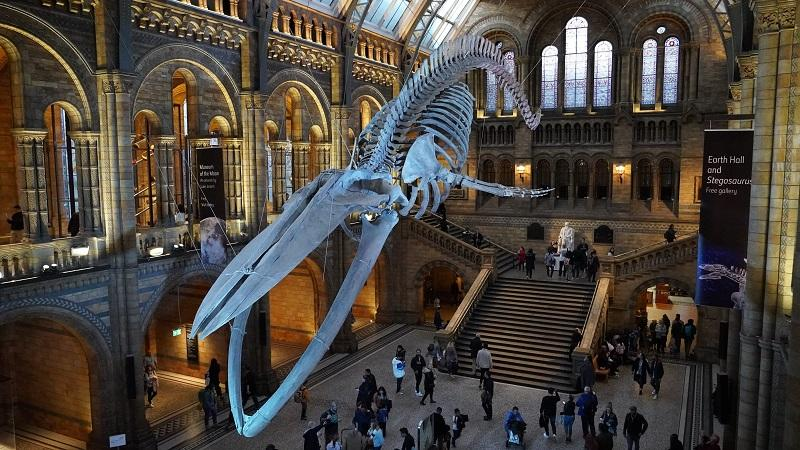An image of a whale skeleton hanging near the ceiling of the main hall of the Natural History Museum